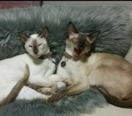 Zam and Pow – Cats. Siamese – Himalayan and Sealpoint.